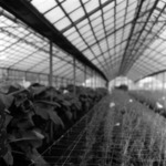 greenhouse Luncani
