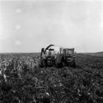 kukorica betakarítása