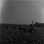 spenót betakarítása, I.A.S., Aranyospolyán