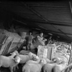 I.A.S., Aranyospolyán, bárány farm