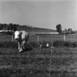legelő tehenek
