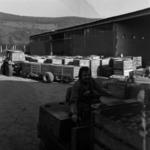 Maia, almaszedés és szállítás