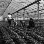 greenhouses Câmpia Turzii + Cluj