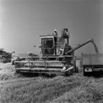 búza aratás