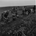 burgonya betakarítása