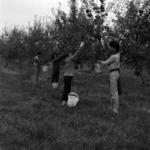 alma szedés