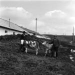 tehenek az istállóban