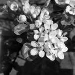 Virágzó körtefa Reketó