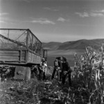 manual corn harvesting