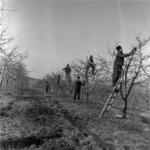 gyümölcsfa metszés