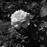spring flowers, rose