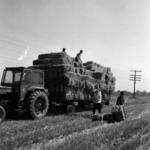 aratás, szalmabálák szállítása