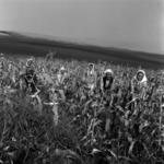 kukorica vetés és szedés
