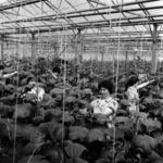 I.A.S.-ari Szentmihály, Aranyospolyán, burgonya ültetés, melegházak Aranyosgyéres