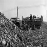 kézi kukorica betakarítás