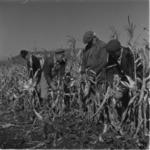 kukorica betakarítás