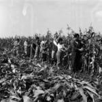 corn harvesting manually
