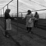 vegetables, greenhouses, Poiana
