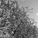 almavirágok