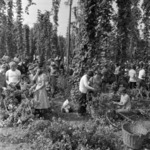 hop picking