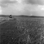 mezőgazdaság, búza betakarítása, ásás, széna összegyűjtése, Gloria