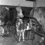 calves, Iclod