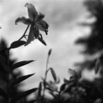 Botanikus kert, japán liliom