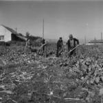 harvest, beetroot transportation