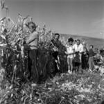 kukorica betakarítása kézzel