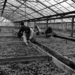 tending seedlings in greenhouses