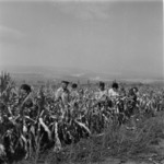 kukorica betkarítás