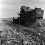harvesting corn, potato sorting