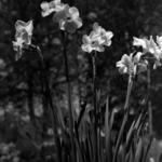 tavaszi virágok, nárciszok