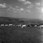 Állattenyésztés, legelő tehenek