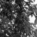 Cseresznye szedés