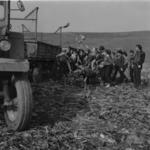 pupils harvesting beetroot