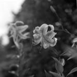 Botanical garden, japaneese lily-flower