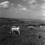 Stock-raising, grazing cows