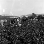 Harvesting paprika