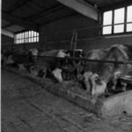 Tureni, zootechnics, new houses