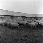 sheep in winter at Iclod