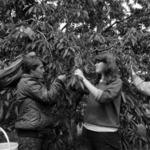 Harvesting cherry