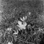 flowers, meadow saffron
