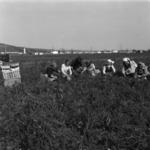 potato harvesting