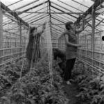 greenhouses Turda