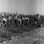 Harvesting haricot