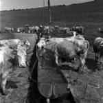 cows, graze