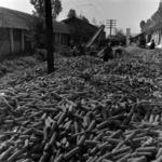 depositing corn at the base
