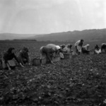 spinach picking