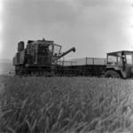 harvesting wheat